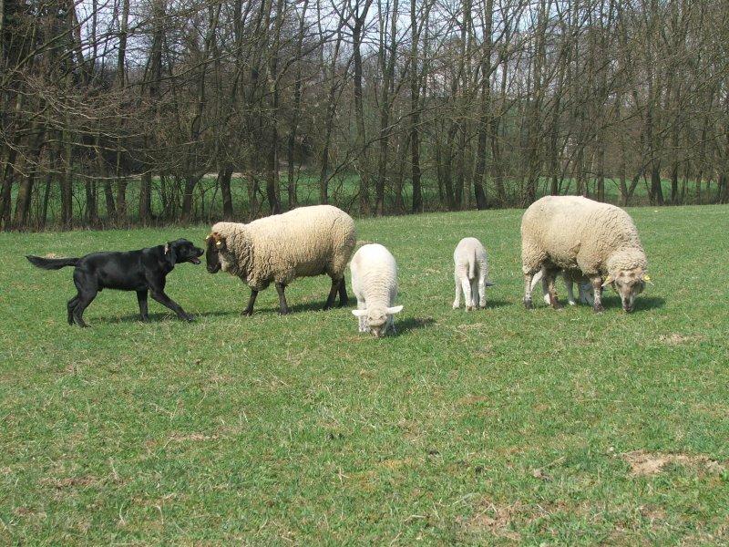 Don a ovečky